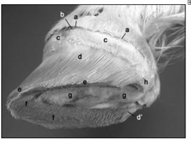 La structure interne d'un sabot de cheval