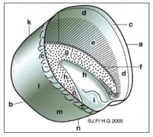 vue interne d'un sabot équin