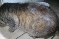 Problème de peau chez le chat