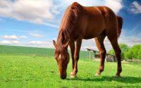 fourbure du cheval
